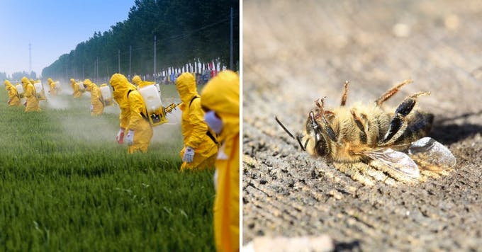 Too much use of pesticides are killing honeybees.