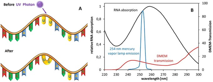 A) Scheme of UV-RNA-damaging mechanism by dimer formation. B) Relative absorption spectra of RNA, relative emission spectrum of a low-pressure mercury vapor lamp and transmission of a typical (Eagle) cell culture medium (https://www.researchgate.net/figure/A-Scheme-of-UV-RNA-damaging-mechanism-by-dimer-formation-B-Relative-absorption-spectra_fig1_341371696).