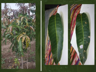 Mango Plant Disease Detection