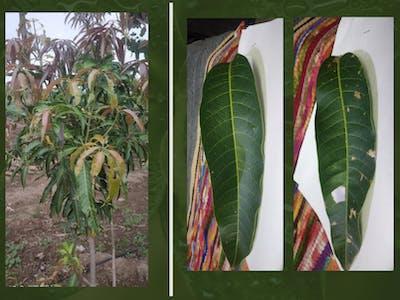 Mango Plant Disease Detection