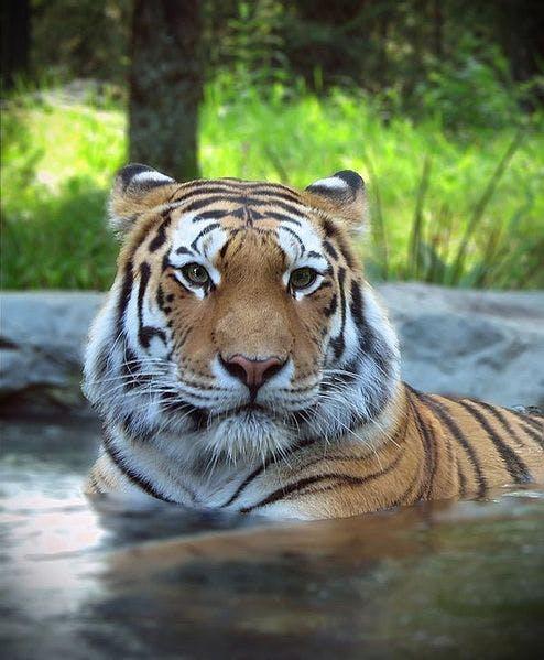 Siberian tiger1 mafbk50nsf