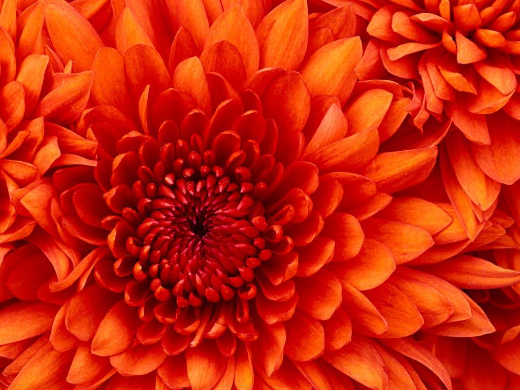 Chrysanthemum qtqfgaus1q