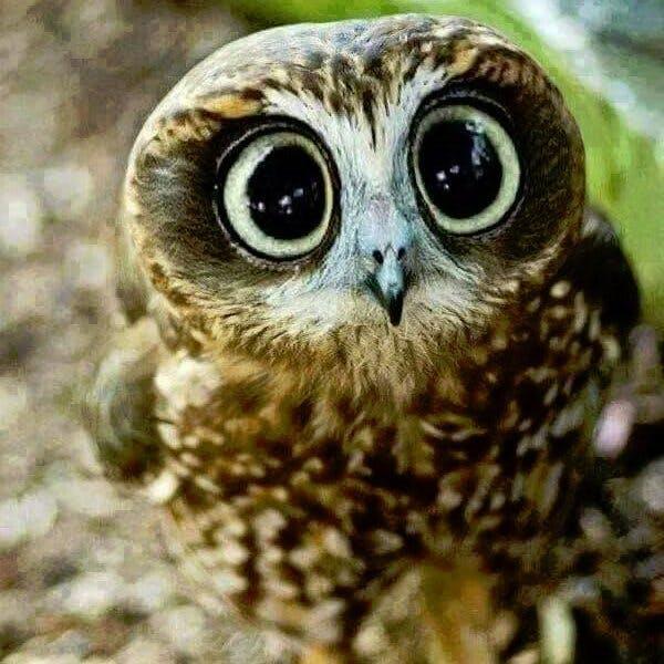 Owl avatar xarhtlujlw