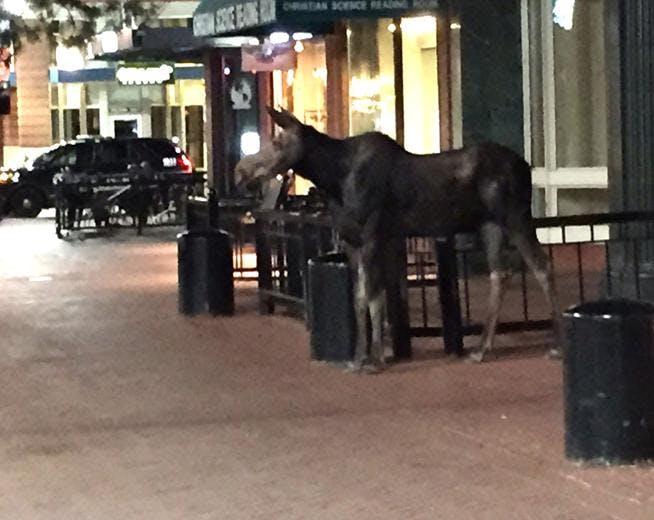 Moose in downtown Boulder
