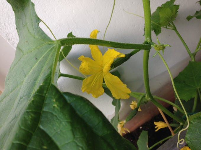 cucumber breeding with yellow flowers