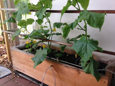 I Keep my Cucumber Growing Conditions Moist - Part 2
