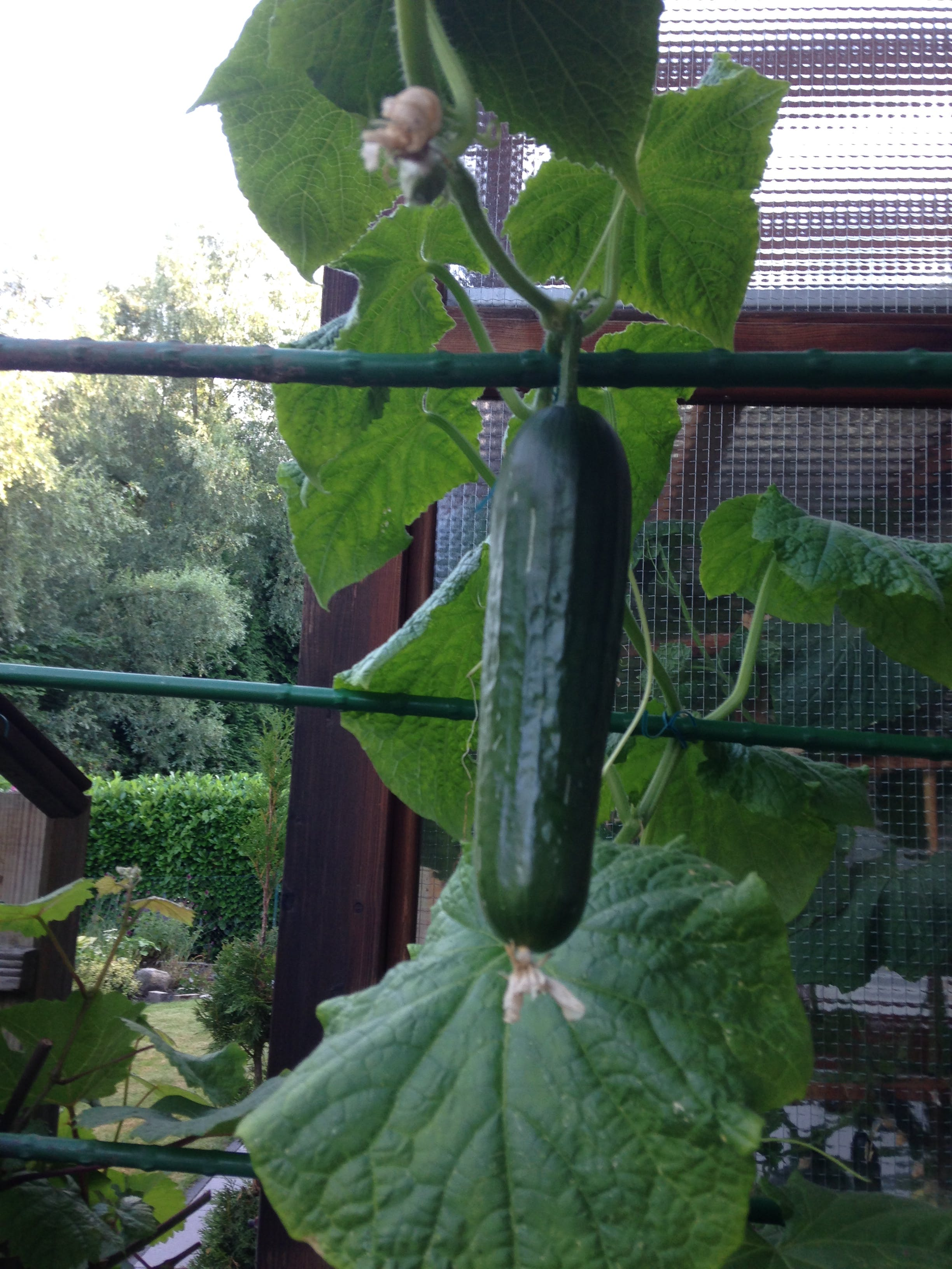 ready to eat: first harvest in July 2017