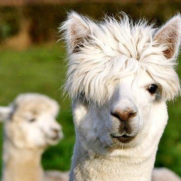 Llama pggdflrayl