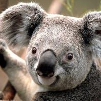 Koala g4gpa7y9ty