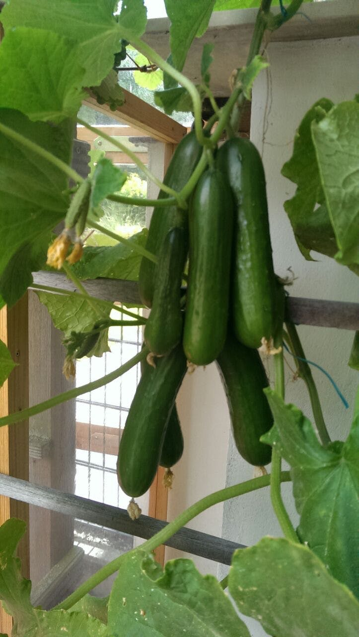 last harvest in August