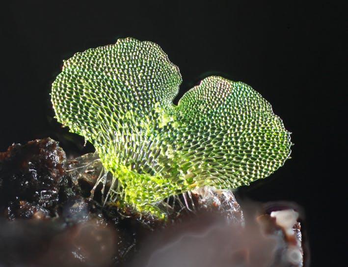 Focus Stacking Fern Gametophytes Using A Flatbed Scanner