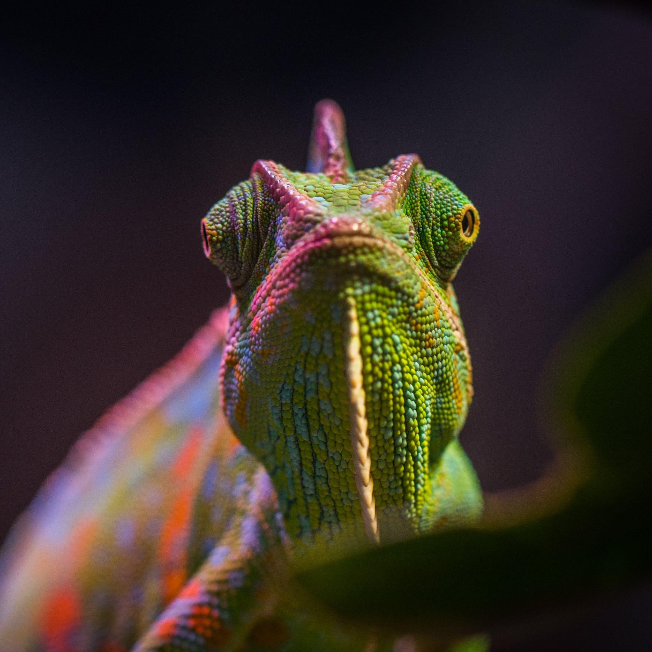 Wise Chameleon