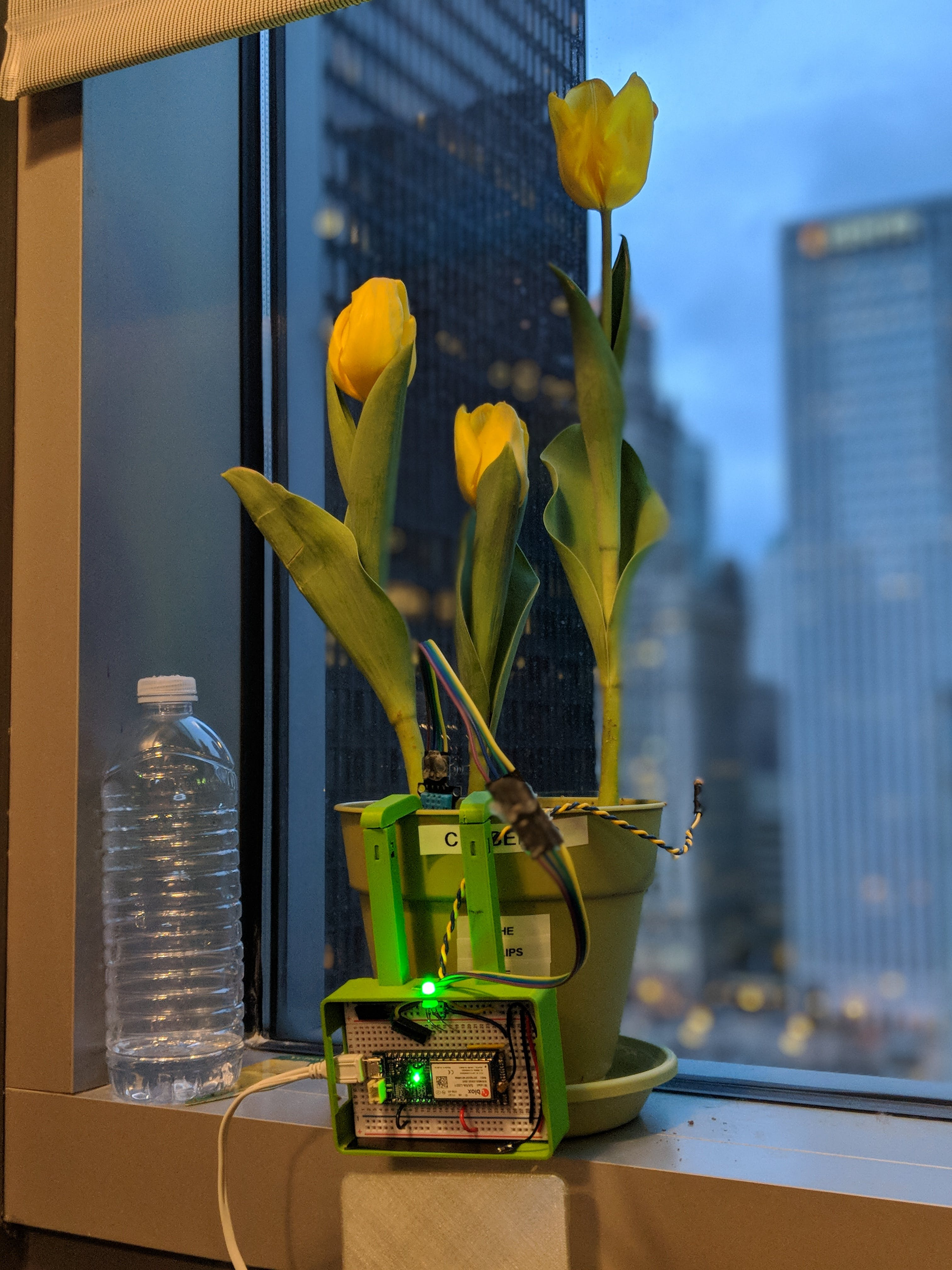 Our tulips also wanted a Pachamama sensor