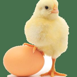 Chickenegg crop xvguxuygq1