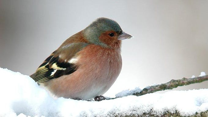 A chaffinch in winter