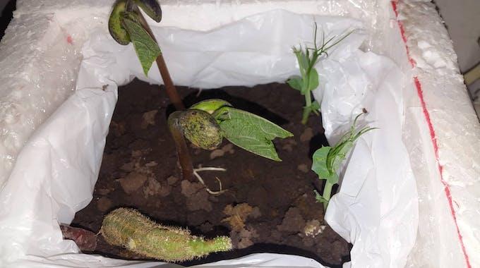 Our prototyping of a crop. | 2 Phaseolus vulgaris beans | 2 Peas Pisum sativum | Common plant: Cactaceae |