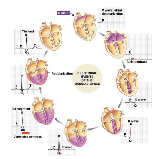 Figure 1 - Cardiac cycle events and corresponding ECG feature.