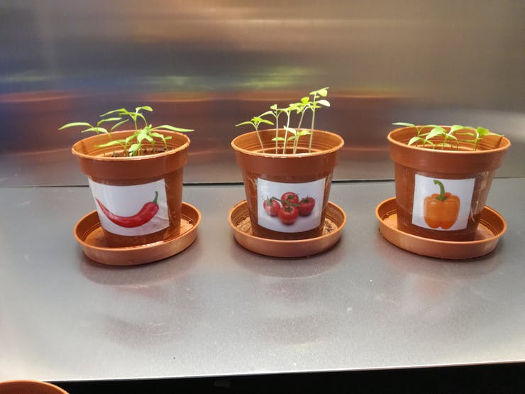 Pots containing chilli pepper, pepper and tomatoe plants.