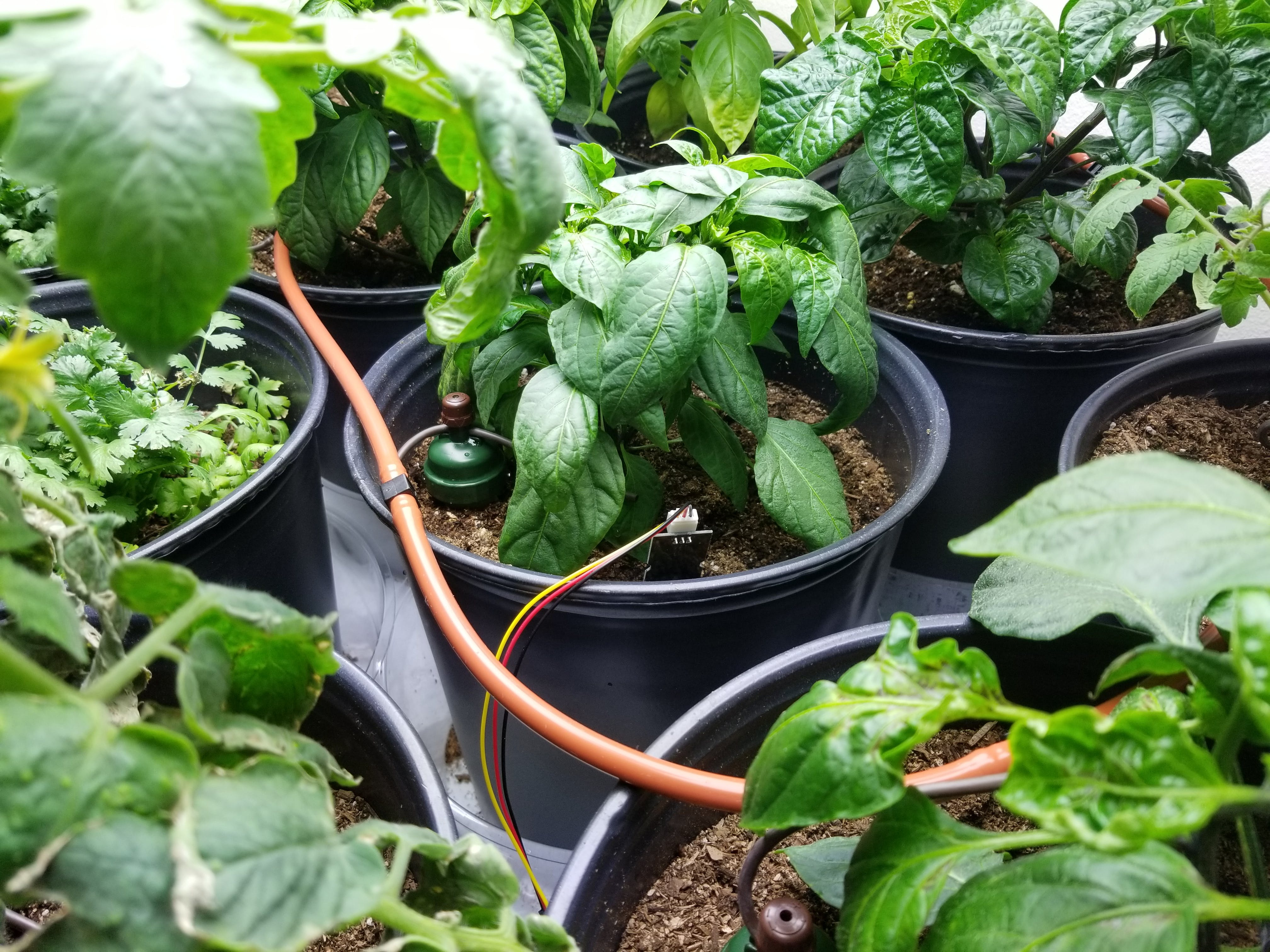 Plants are sending moisture information to arduino and being watered by the blumats.
