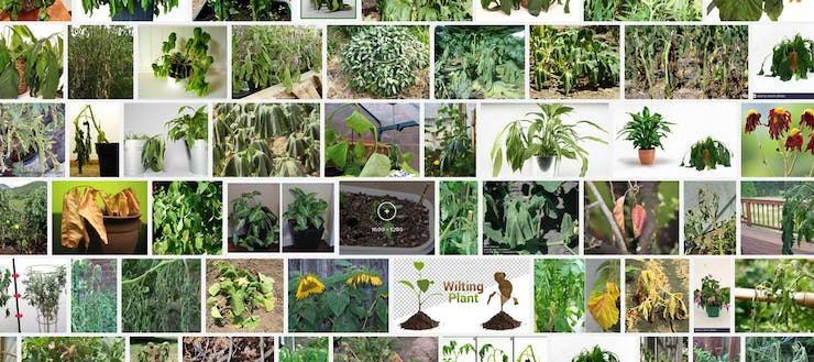 search query: wilting plants