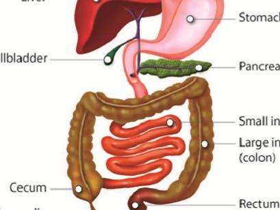 Digestive System Quiz