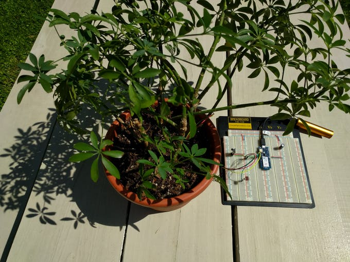 Schefflera with moisture sensor in soil.