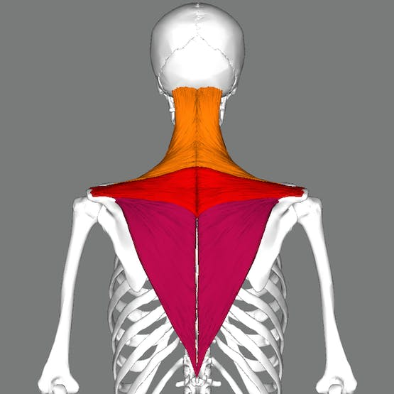 https://commons.wikimedia.org/wiki/File:Trapezius_back.png
