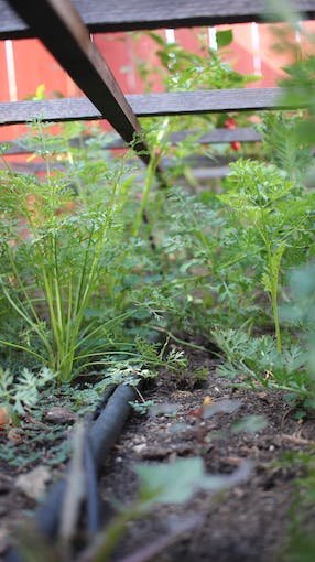 Herbs are still doing well, but we cover them on the hottest days to cut down on evaporation